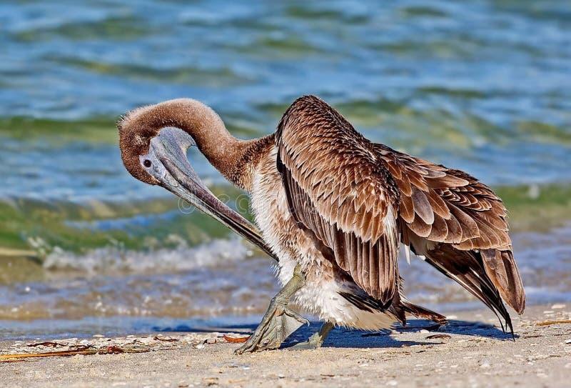Amerikanska bruna pelikanPelecanusoccidentalis är norr - den amerikanska fågeln av pelikanfamiljen Det minst av pelikorna arkivfoto