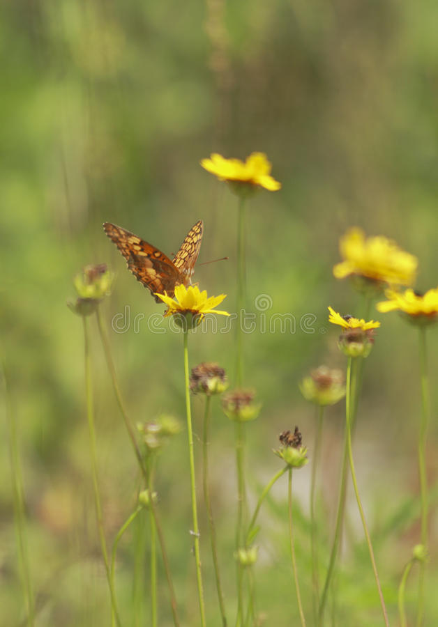 Amerikanska fjärilar royaltyfri bild