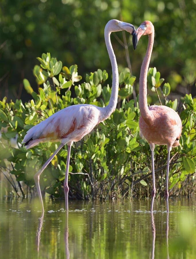 Amerikanska flamingo eller karibiska flamingo royaltyfria bilder