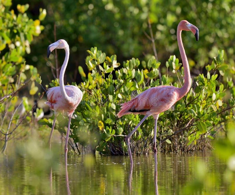 Amerikanska flamingo eller karibiska flamingo fotografering för bildbyråer