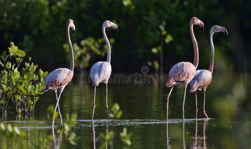 Amerikanska flamingo eller karibiska flamingo arkivbilder