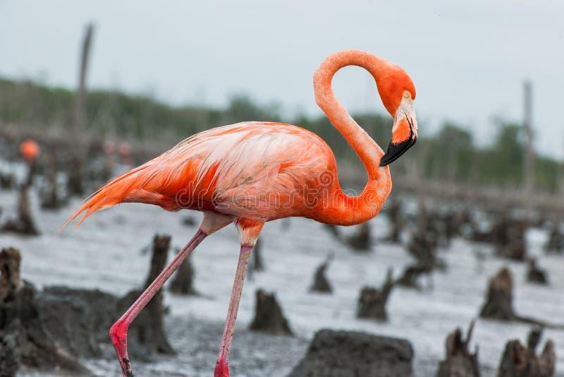 Amerikanska flamingo eller karibiska flamingo (Phoenicopterus ruberruber) royaltyfri fotografi