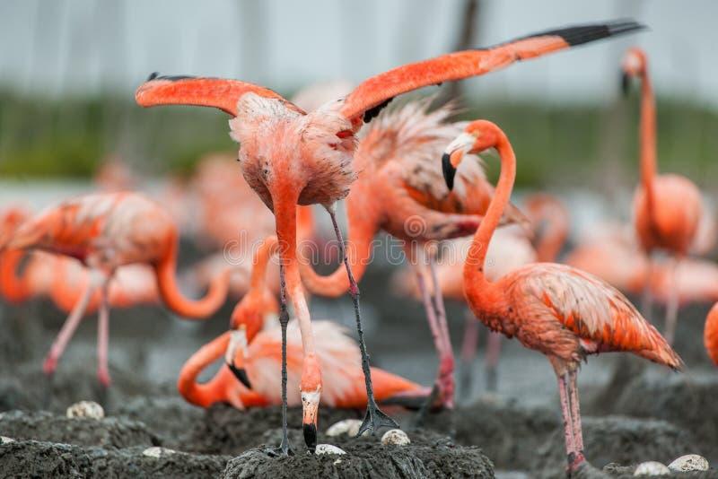 Amerikanska flamingo eller karibiska flamingo (Phoenicopterus ruberruber) nests den stora maximoen för den camaguey kolonicuba fl arkivbilder