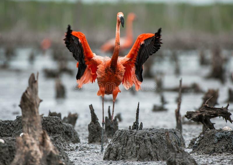 Amerikanska flamingo eller karibiska flamingo (Phoenicopterus ruberruber) nests den stora maximoen för den camaguey kolonicuba fl royaltyfria bilder