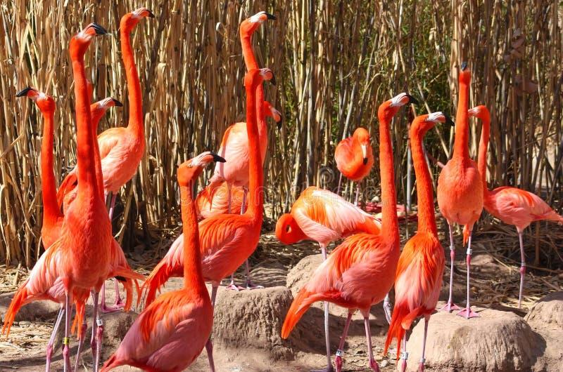 Amerikanska flamingo på varning arkivfoto