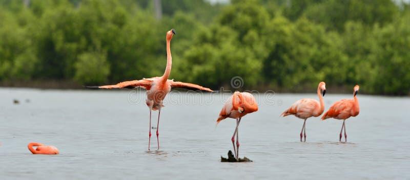 Amerikanska flamingo (Phoenicopterus ruber) arkivbild