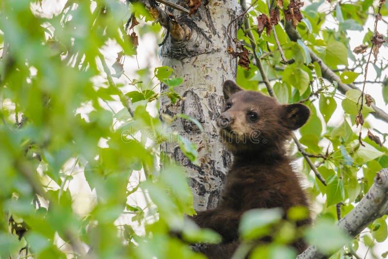 Amerikanska gröngölingar för svart björn (den americanus ursusen) fotografering för bildbyråer