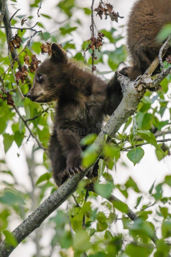 Amerikanska gröngölingar för svart björn (den americanus ursusen) royaltyfri foto