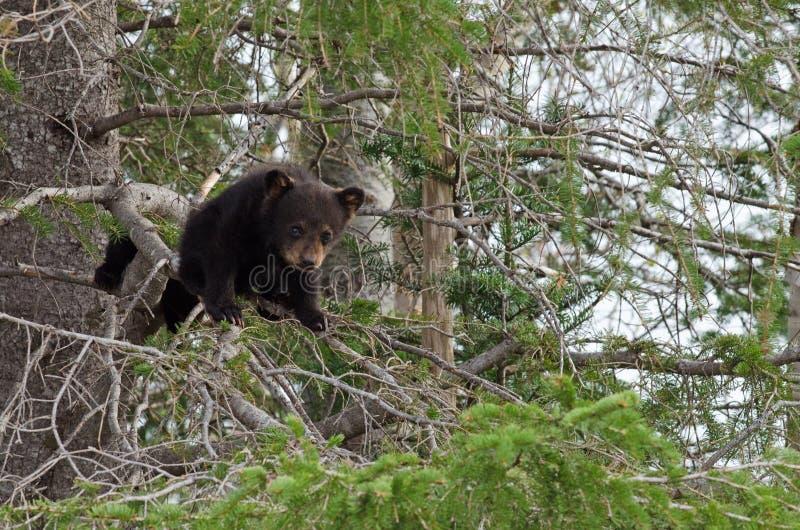 Amerikanska gröngölingar för svart björn i ett träd royaltyfri foto