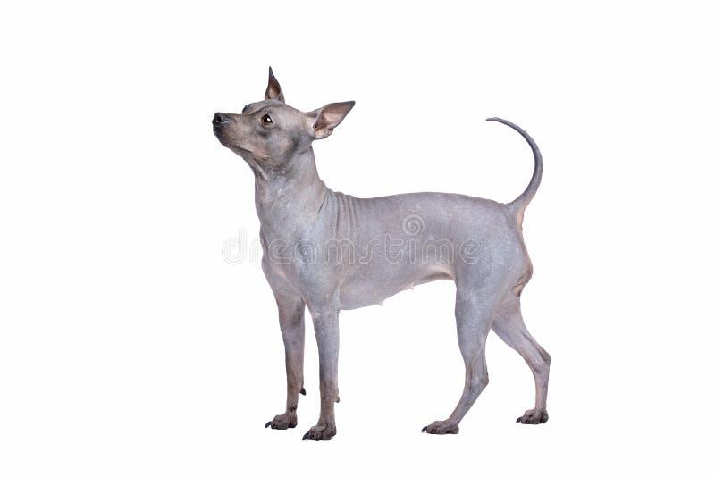 Amerikanska h?rl?sa Terrier royaltyfri fotografi