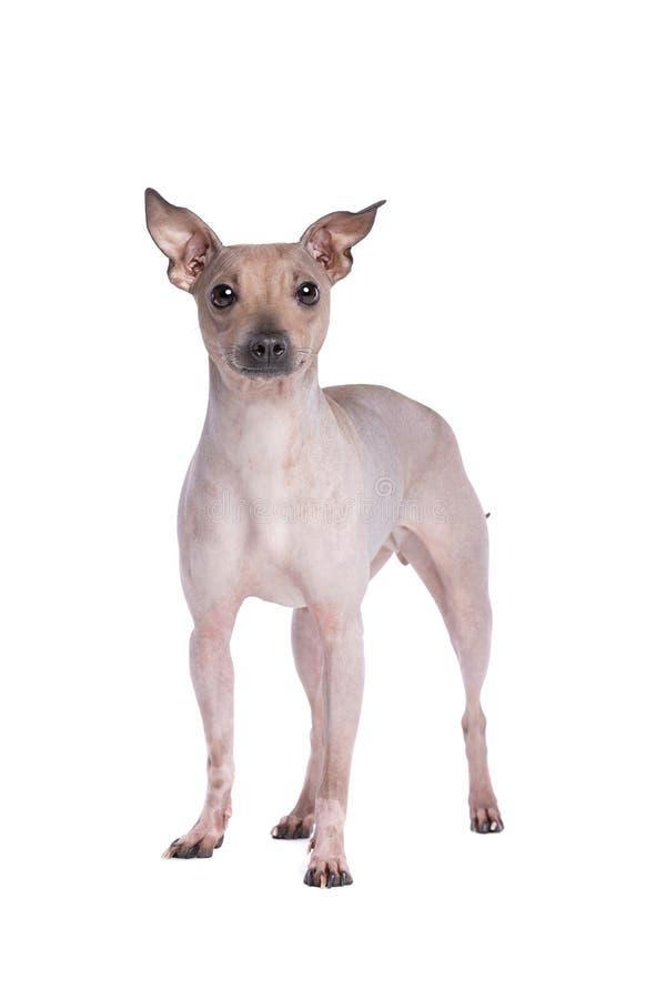 Amerikanska h?rl?sa Terrier royaltyfria bilder