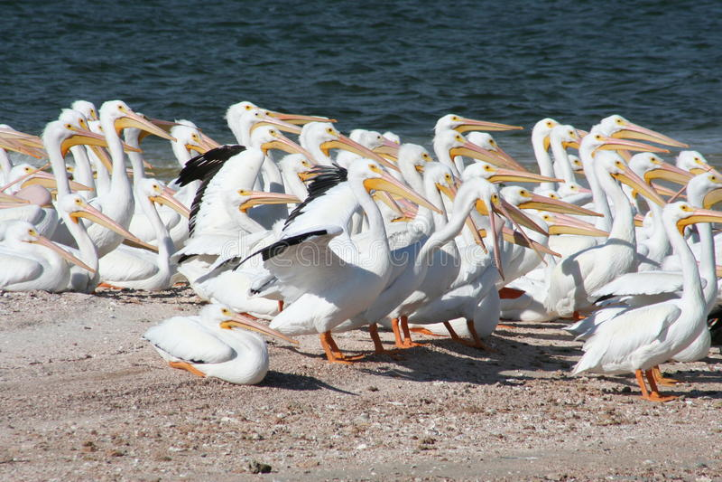 Amerikanska Pelecanuserythrorhynchos för vit pelikan royaltyfri fotografi