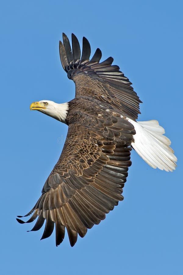 Amerikanska skalliga Eagle arkivbild