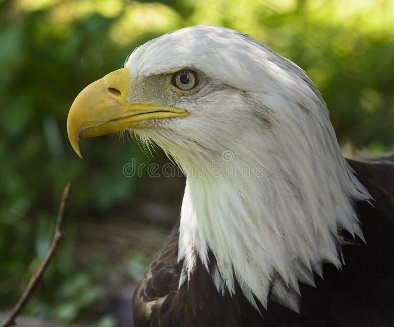 Amerikanska skalliga Eagle arkivfoton