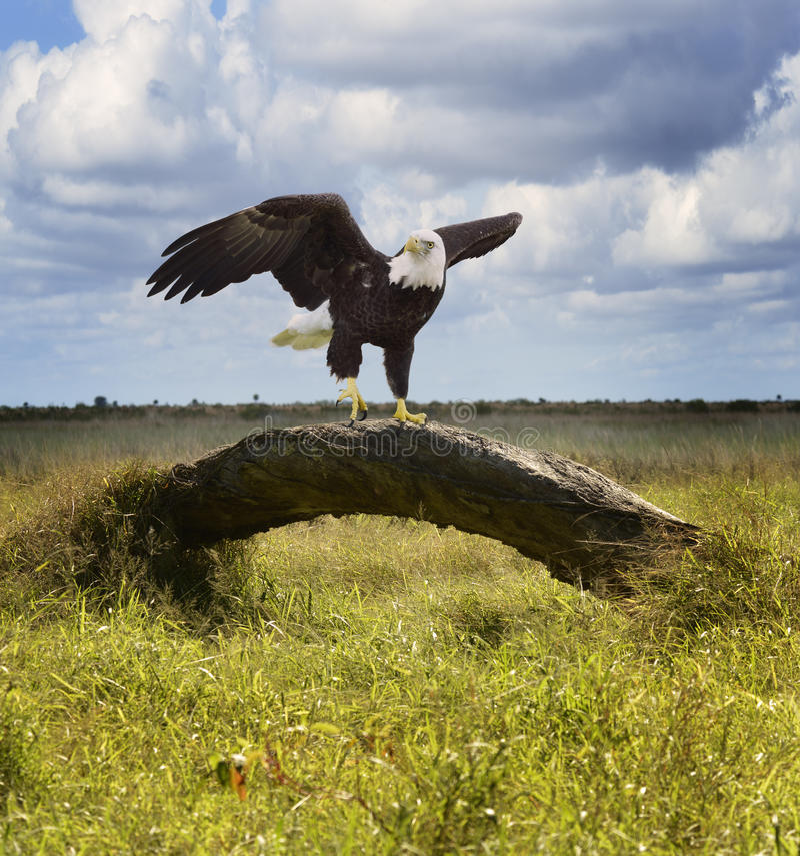 Amerikanska skalliga Eagle royaltyfri fotografi