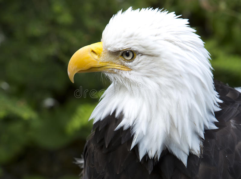 Amerikanska skalliga Eagle i Alaska fotografering för bildbyråer