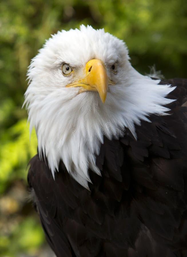 Amerikanska skalliga Eagle i Alaska arkivfoton