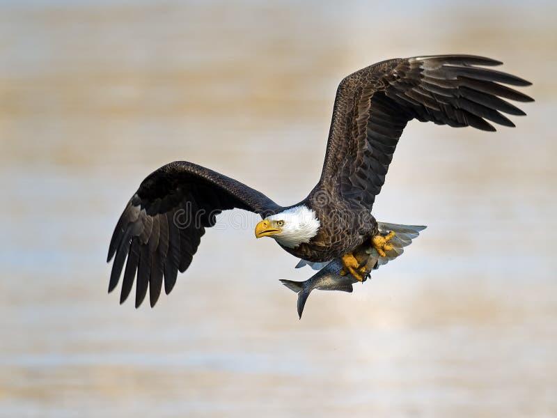 Amerikanska skalliga Eagle med fisken royaltyfri foto