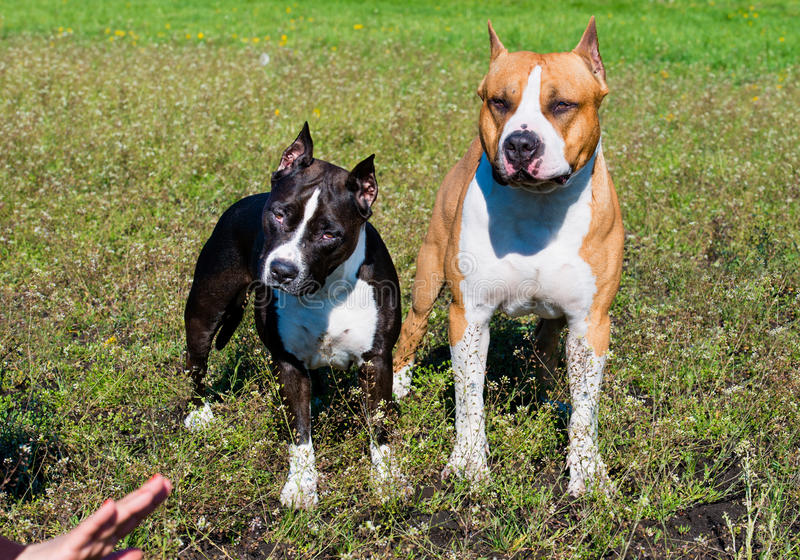 Amerikanska Staffordshire terrier under comand royaltyfri bild