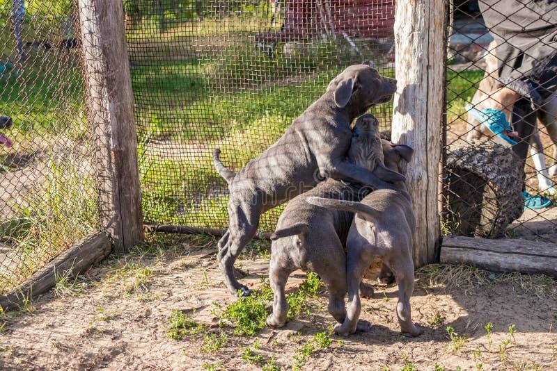 Amerikanska Staffordshire Terrier valpar som sitter i en aviarium, önskar att gå i det löst royaltyfria bilder
