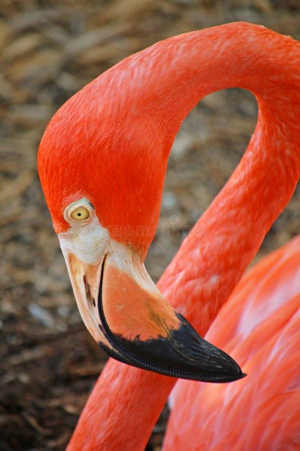 amerikanskt flamingohuvud royaltyfri foto