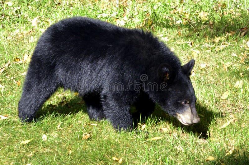 Amerikanskt sökande för gröngöling för svart björn arkivbilder