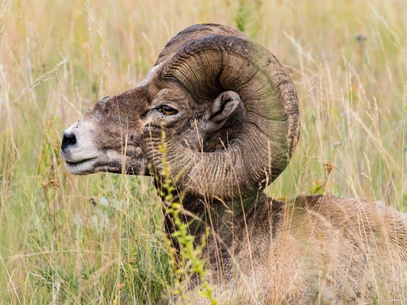 Amerikanskt sammanträde för bighornfår i gräset royaltyfria foton