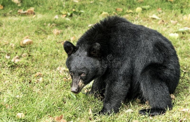 Amerikanskt sitta för svart björn royaltyfri foto