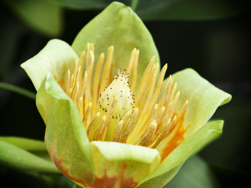 Amerikanskt tulpanträd (Liriodendrontulipiferaen) royaltyfri bild