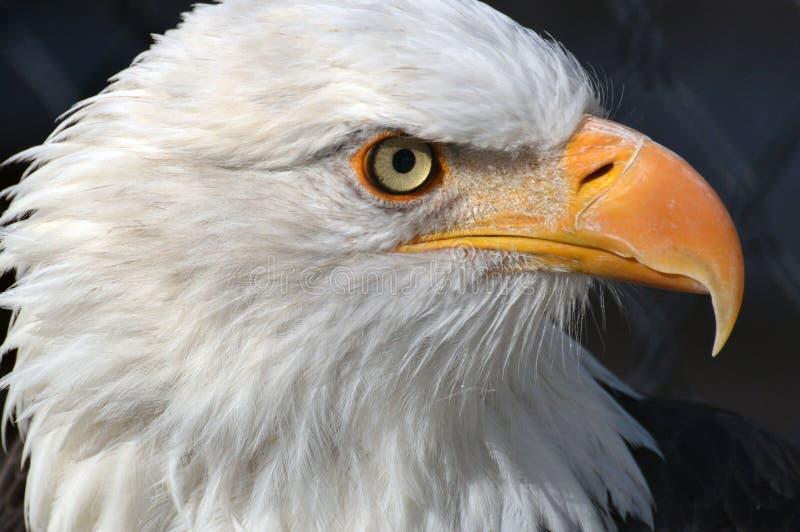 Amerikas Vogel stockbilder