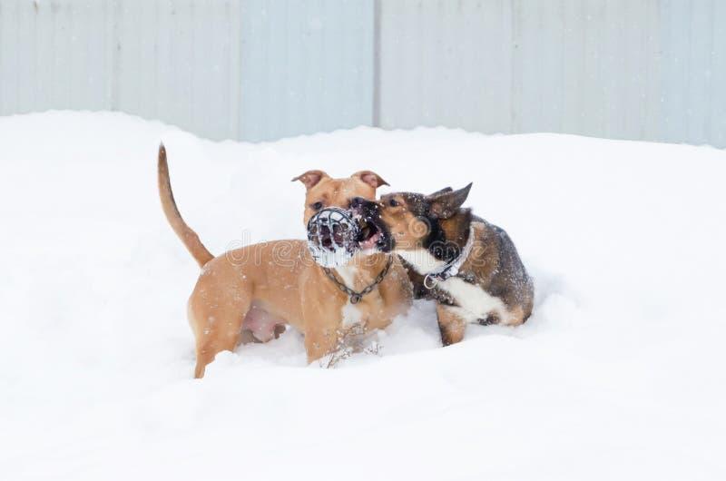 Amerykański łobuz Pies sztuka z each inny obraz stock