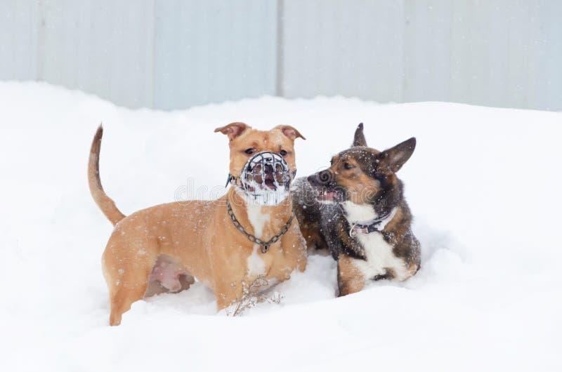Amerykański łobuz Pies sztuka z each inny zdjęcia stock