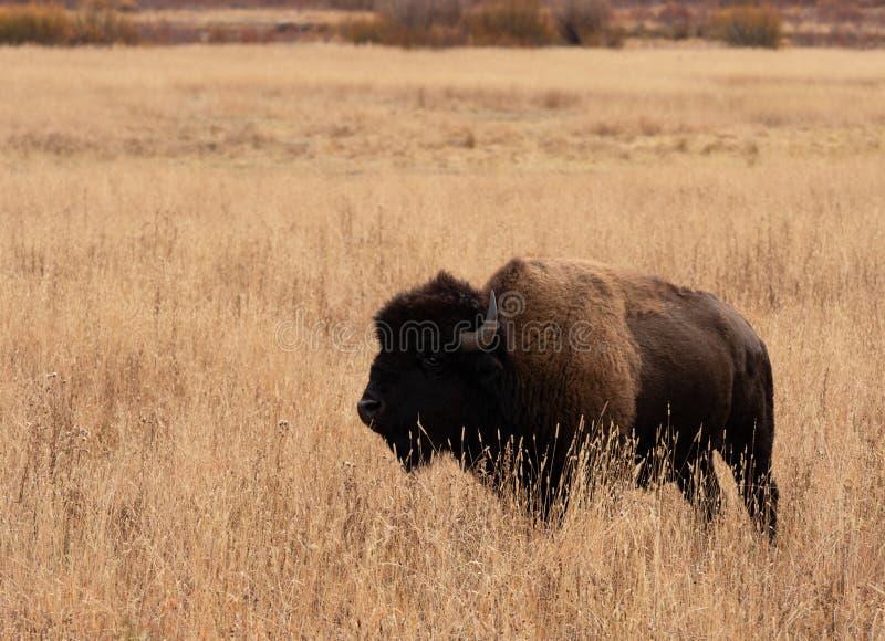 Amerykańskiego żubra pozycja w Wysokiej Wysuszonej trawie zdjęcie stock