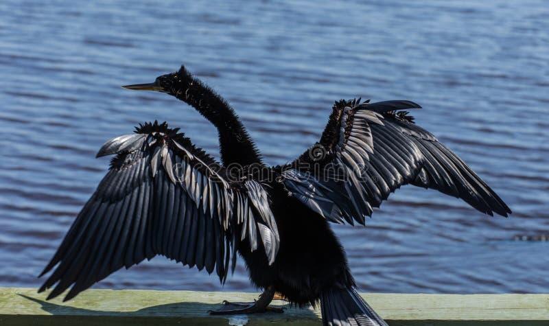 Amerykańscy Anhinga osuszki skrzydła fotografia royalty free