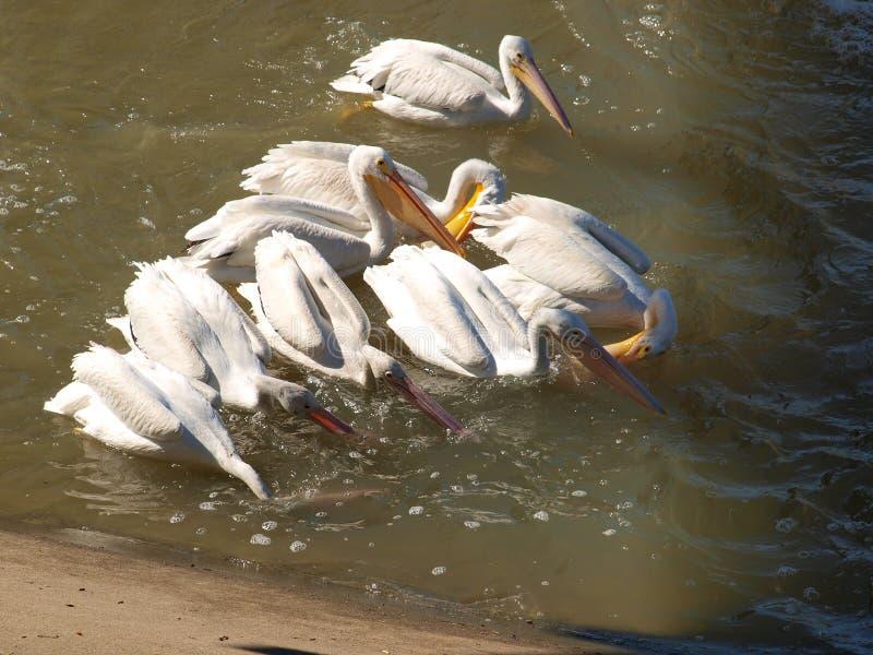 Amerykańscy Białego pelikana Juveniles Uczy się sztukę Istny połów fotografia royalty free