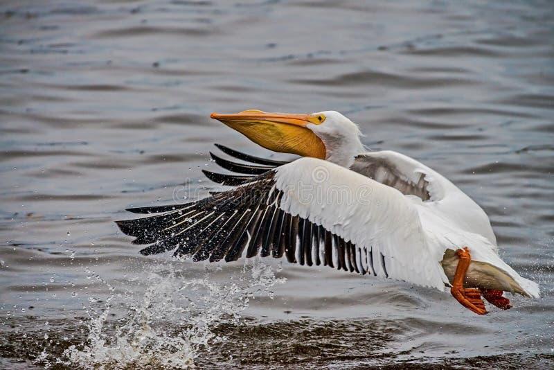 Amerykańscy Białego pelikana Pelecanus erythrorhynchos Ja hoduje w wewnętrznym Północna Ameryka i wybrzeża, poruszający południe fotografia royalty free
