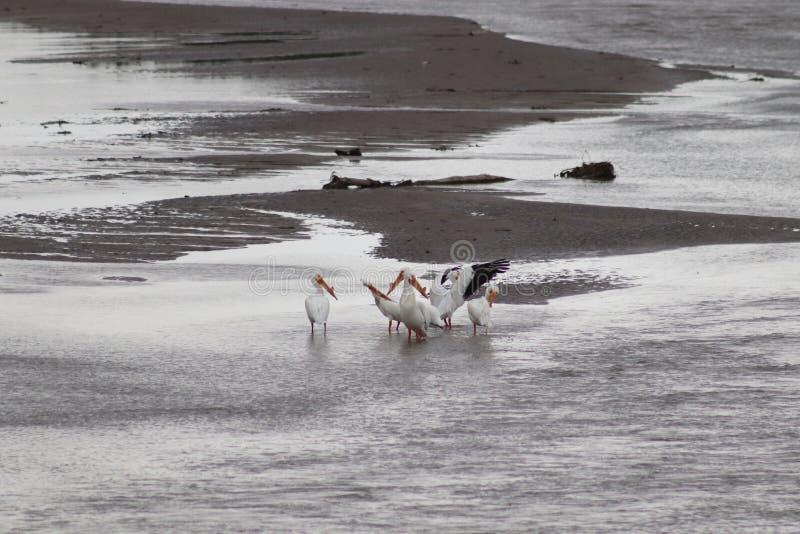 Amerykańscy Biali pelikany na Niobrara Nebraska obrazy royalty free