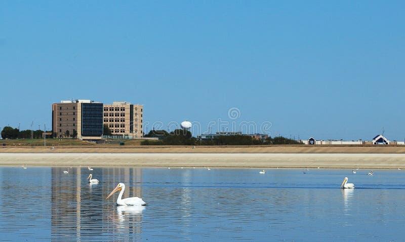 Amerykańscy Biali pelikany w Barr stanu Jeziornym parku obrazy royalty free