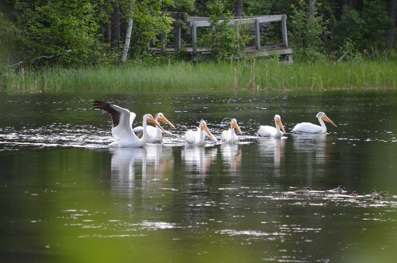 Amerykańscy biali pelikany wzdłuż rzeki zdjęcie stock