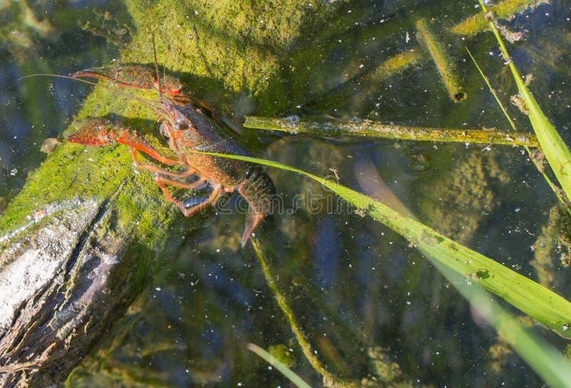 amerykańscy crayfish obraz royalty free