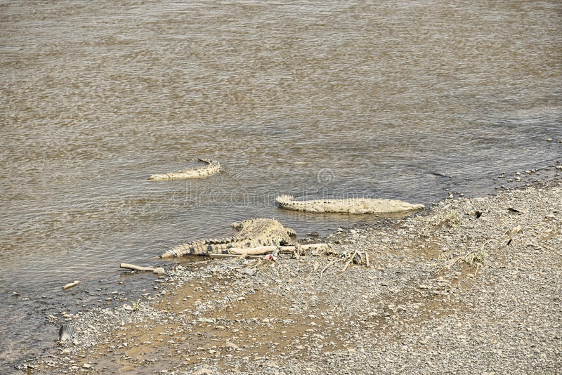 Amerykańscy krokodyle, Costa Rica zdjęcie royalty free