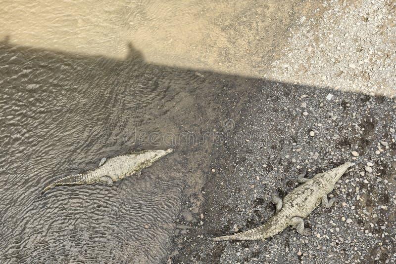 Amerykańscy krokodyle, Costa Rica obrazy stock