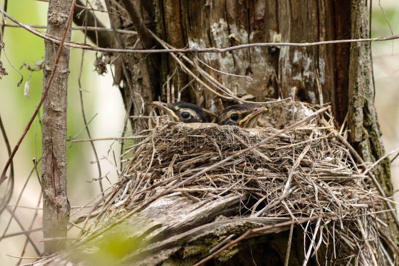 Amerykańscy rudzików kurczątka w gniazdeczku zdjęcia royalty free