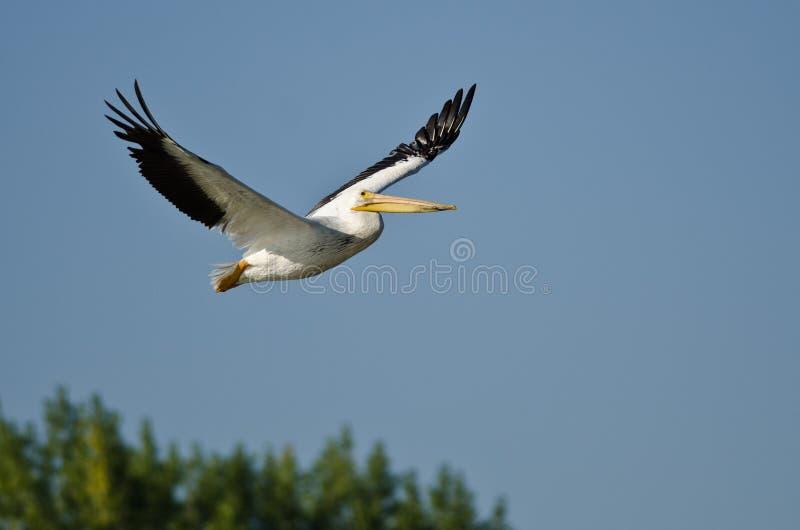Amerykańska Białego pelikana Latająca depresja Nad bagnem fotografia stock