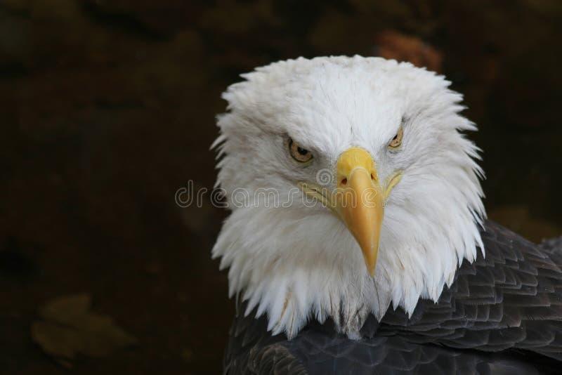 amerykańska ikona łysego orła zdjęcie royalty free