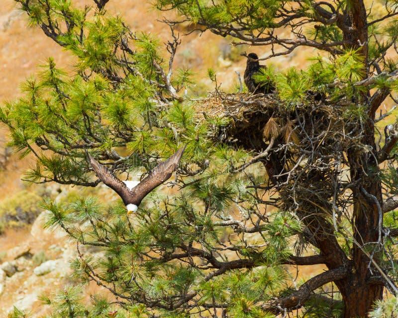 Amerykański Łysego Eagle gniazdeczko obraz stock