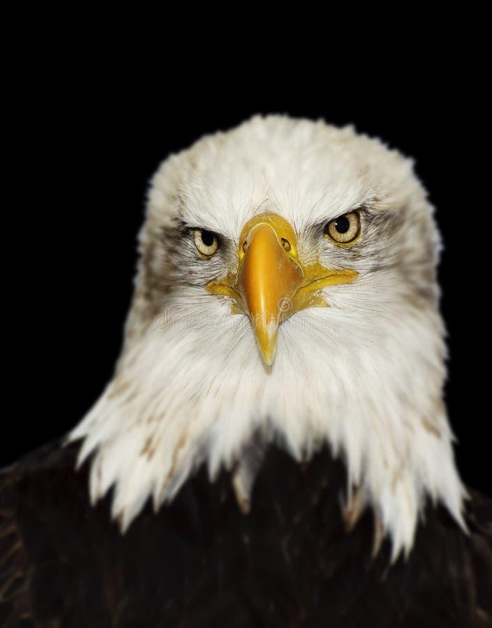 amerykański łysego orła antepedium folujący portret zdjęcia stock