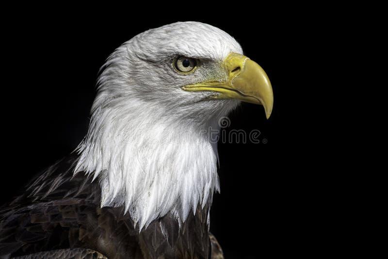 Amerykański łysego orła głowy zakończenie up przeciw czarnemu tłu obrazy stock