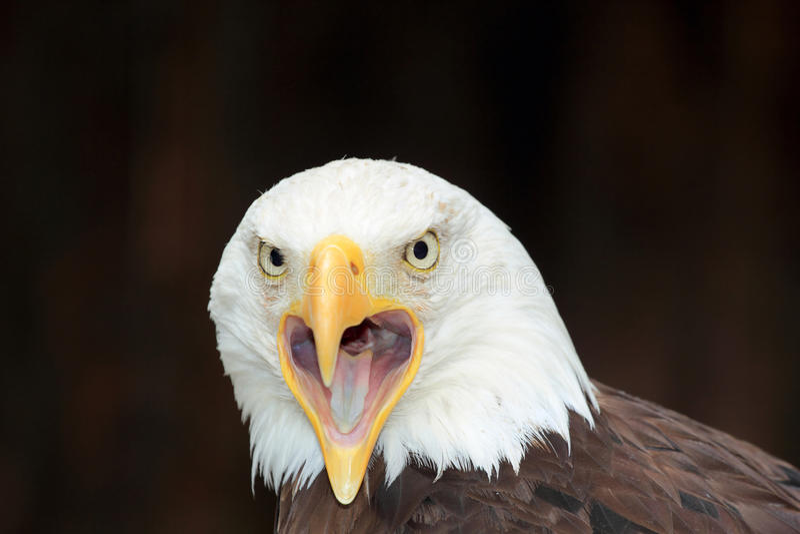 amerykański łysego orła portret zdjęcia royalty free