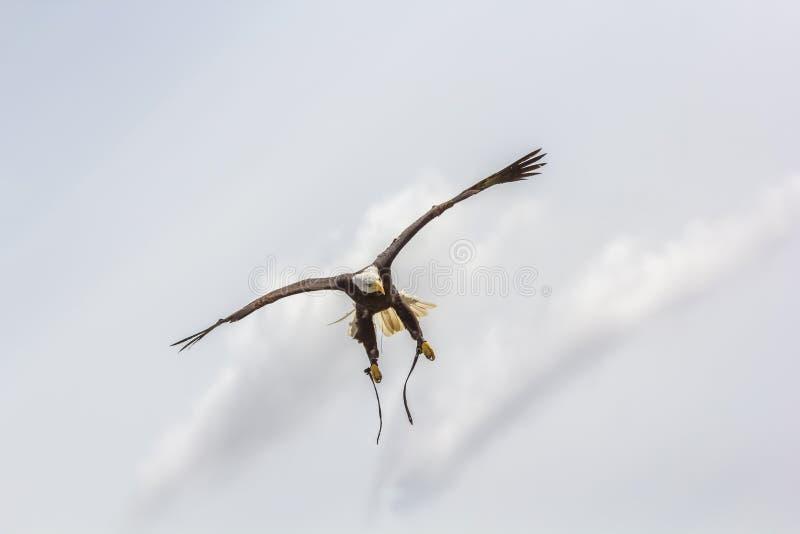 Amerykański łysego orła przygarbienie Ptak zdobycz przy sokolnictwo pokazem fotografia stock